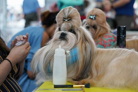 Small Shih-tzu dog, ornament bow in hair, getting prepared and groomed at dog show competition