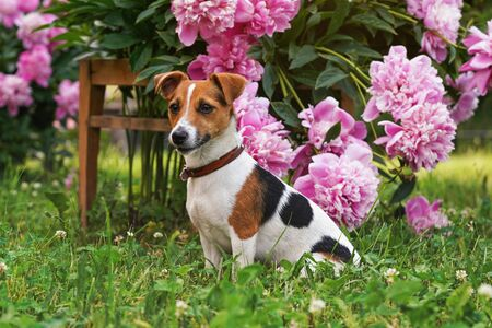 Small Jack Russell terrier dog sitting calmly in front of pink flowers bush.