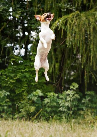 Small Jack Russell dog jumping up high in the air Stock fotó