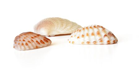 Three tiny scallop sea shells isolated on white background, closeup detail.
