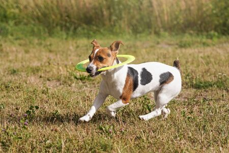 Small Jack Russell terrier running with neon green throwing disc she plays with, on meadow