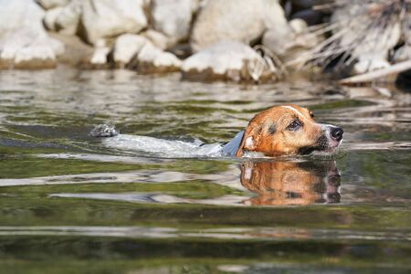 Small Jack Russell dog swimming in river, only her head above water, sun shines, blurred stones at background.