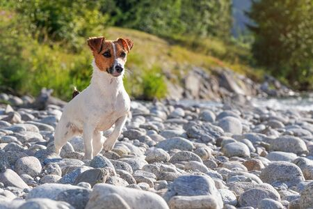 Small Jack Russell terrier, wet from swimming in the river, standing on round stones at shore, looking attentively, one leg up. Banco de Imagens