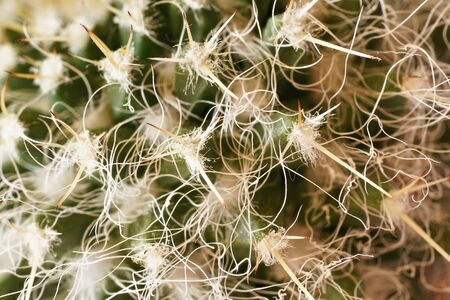 Cactus thorns, detailed closeup photo , white threads between sharp spikes visible.