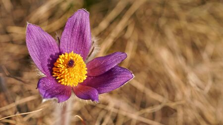 Purple greater pasque flower with yellow center - Pulsatilla grandis - growing in dry grass, close up detail.