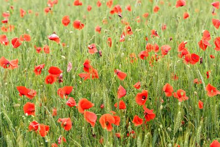 Bright red poppies growing in unripe wheat field. Banco de Imagens