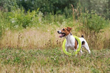 Small Jack Russell terrier, her tongue out, looking attentively, playing with yellow throwing disc carrying it on neck, view from side Stock fotó