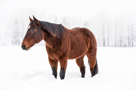 Dark brown horse walks on snow, blurred trees background.