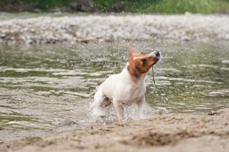 Wet Jack Russell terrier dog shaking her head to get dry after swimming in river, still holding stick with teeth Banco de Imagens