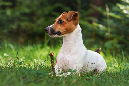 Small jack Russell terrier laying on green grass meadow