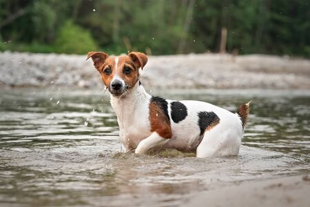 Small Jack Russell terrier crawling in shallow water on a summer day. Zdjęcie Seryjne