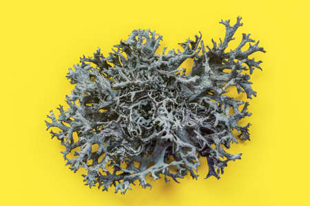 Detail of Icelandic lichen (Cladonia rangiferina) structure on yellow board. Abstract organic  photo.