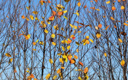 Autumn tree branches with almost no leaves, only few small colourful pieces left. Abstract fall background.