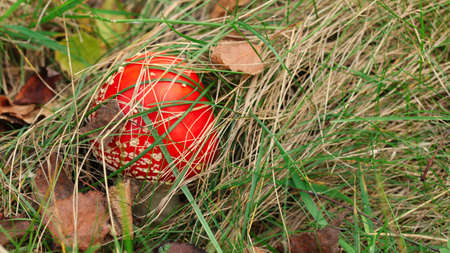 Small fly agaric (Amanita muscaria) mushroom, cap covered with dry grass and leaves Reklamní fotografie
