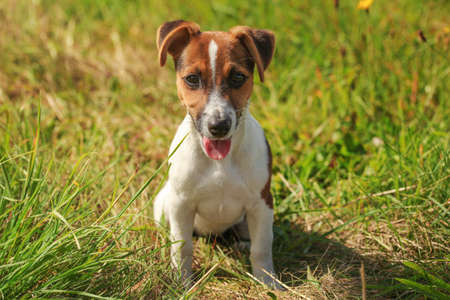 Small Jack Russell terrier sitting on sun lit grass, looking into camera, her tongue out.