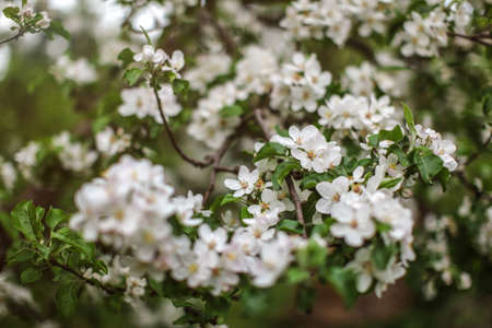Shallow depth of focus, only few flowers in focus, Apple blossoms on tree branches in shade. Abstract spring background. Reklamní fotografie