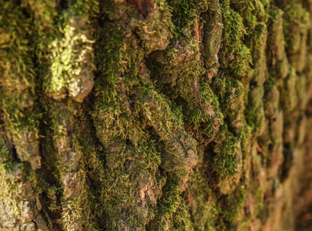Detail of green moss growing on old tree bark.
