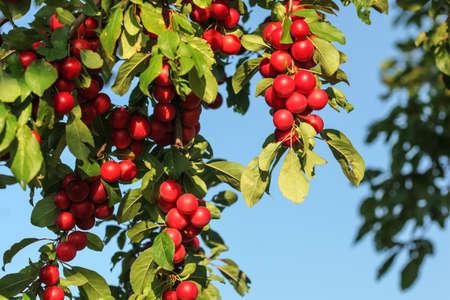 Red mirabele cherry plums (Prunus domestica syriaca) lit by sun, growing on wild tree.