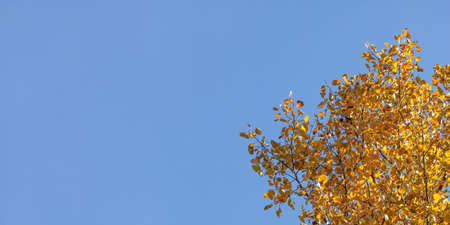 Birch tree yellow autumn leaves, with blue sky (space for text) in background. Reklamní fotografie