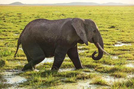 African bush elephant (Loxodonta africana) walking on savanna, grass covered in water.