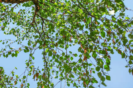 Looking up the birch tree, small green leaves against blue sky background. Abstract spring nature background. Reklamní fotografie