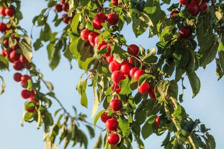 Red mirabele plums (Prunus domestica syriaca) growing on wild tree., blue sky in background Reklamní fotografie