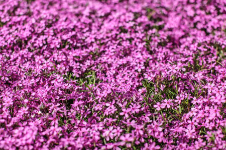 Shallow depth of field photo - only few small flowers in focus. Pink flowerbed with few leaves visible. Abstract spring flowery background. 免版税图像