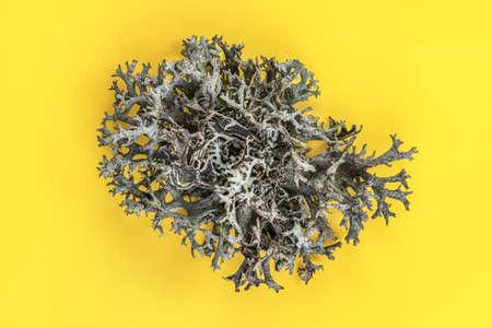 Icelandic lichen (Cladonia rangiferina) structure on yellow board. Abstract organic photo.