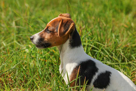Small Jack Russell terrier dog sitting in low green grass, looking to her side. 免版税图像