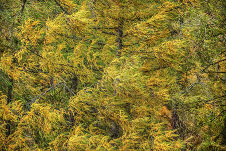 European larch (Larix decidua) branches with yellow coloured fir in autumn in strong wind. Abstract natural / windy background. 免版税图像