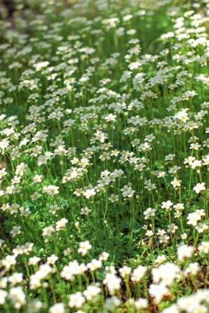 Small white flowers flowerbed. Abstract spring background.