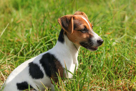 Small Jack Russell terrier sitting in the grass, side view.