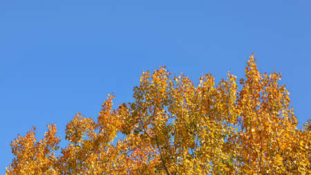 Birch tree tops in autumn, yellow leaves contrasting with blue sky (space for text in upper part) 免版税图像