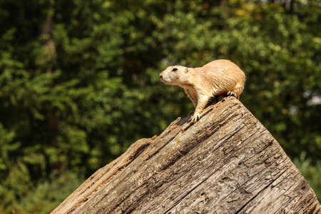Black-tailed prairie dog (Cynomys ludovicianus) sitting on old wooden log, blurred dark trees in background.