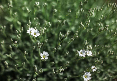 Shallow depth of field photo only blossoms in focus, small white flowers with blurred green leaves behind. Abstract spring flowery background. 版權商用圖片
