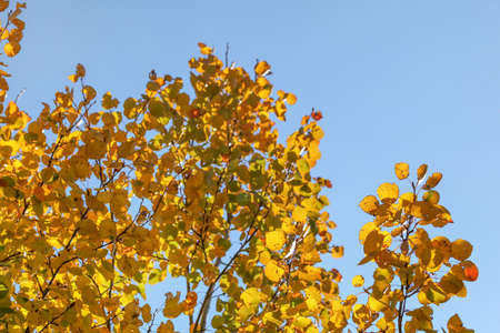 Yellow birch leaves against clear blue sky. Abstract autumn background. 版權商用圖片