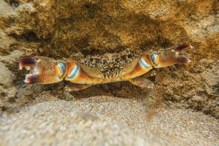 Underwater photo - warty crab (Eriphia verrucosa) hiding under rock in shallow water, chelae (claws) spread.
