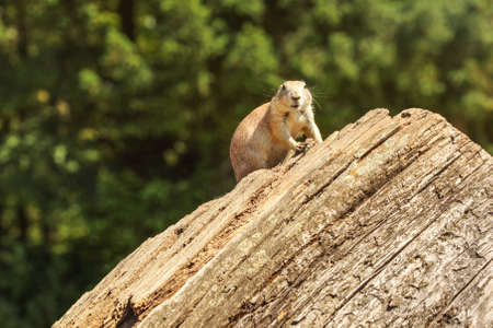 Black-tailed prairie dog (Cynomys ludovicianus) sitting on old wood log, looking into camere, blurred dark trees in background. 版權商用圖片
