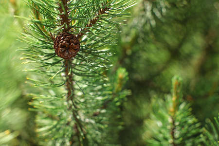 Shallow depth of field photo, only small coniferous cone in focus, detail on young green fir tree, sun shines in back. Abstract spring forest background.