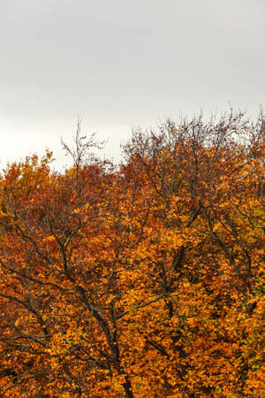 Autumn tree tops in vibrant colors, with overcast sky (space for text) above. Abstract fall weather background.