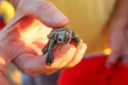 Volunteer hand hold freshly hatched turtle, still covered in sand from nest where it was few seconds ago; about to be released to sea.