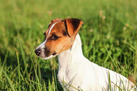 Small Jack Russell terrier sitting in low grass, looking to side, detail on her head. 版權商用圖片