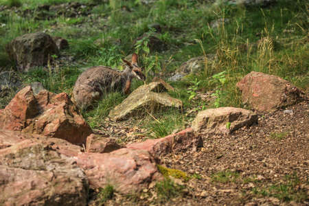Yellow-footed rock-wallaby ( Petrogale xanthopus ) in low grass and rocks. 版權商用圖片