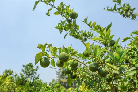 Green unripe lemons growing on tree branches in orchard, blue sky background.