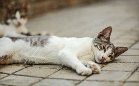 Dirty white and gray stray cat laying on her side, waking up, eyes half open. Another blurred one in background on tiled pavement. 版權商用圖片