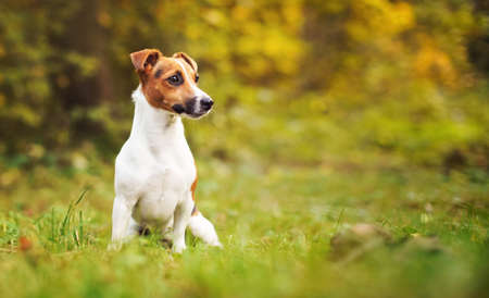 Small Jack Russell terrier sitting on meadow in autumn, yellow and orange blurred trees background
