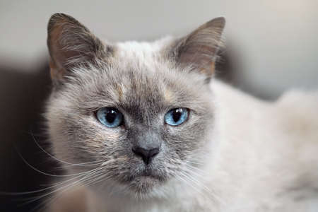 Older gray cat with piercing blue eyes, closeup detail