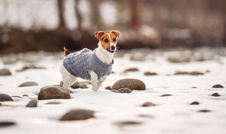 Small Jack Russell terrier in her knitted winter coat standing on snow covered field near river, few stones visible, view from side