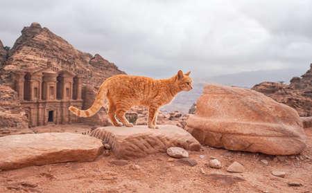 Small orange cat walking over red rocks, mountainous landscape in Petra Jordan, with monastery building background 版權商用圖片