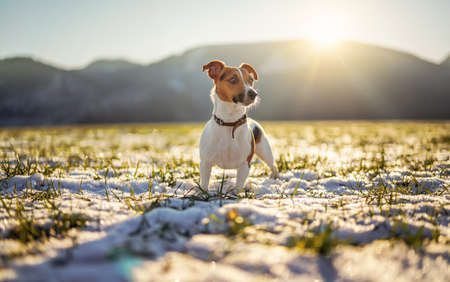 Small Jack Russell terrier stands on green grass meadow with patches of snow during freezing winter day, sun shines over hills behind her 版權商用圖片